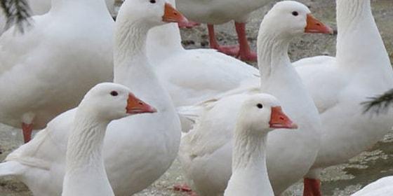 Разведение Губернаторских гусей