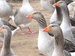 Серые крупные гуси