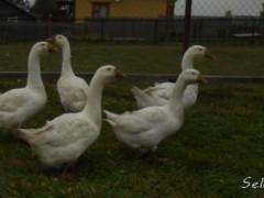 Содержание линдовских гусей