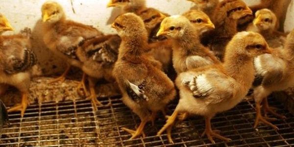 Цыплята Билефельдер