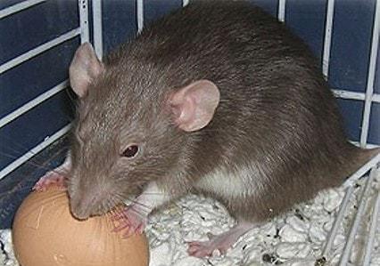 Крыса жрет яйца