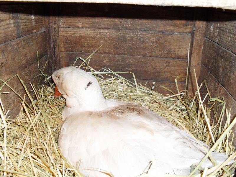 гуска на гнезде