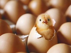 Разведение цыплят в инкубаторе