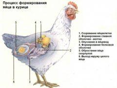 Органы размножения курицы анатомия и физиология