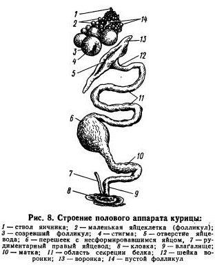 половой аппарат самки
