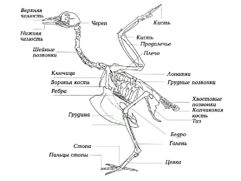 Картинки скелет курицы