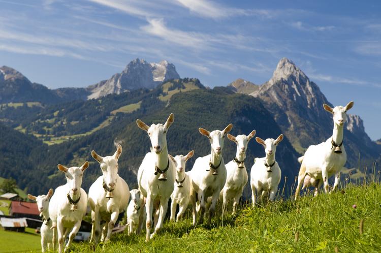 козы на альпийских просторах