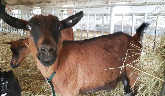 молоденькая коза знакомится с фотоаппаратом