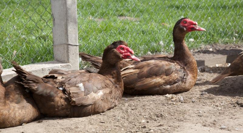 Мускусные утки в загоне