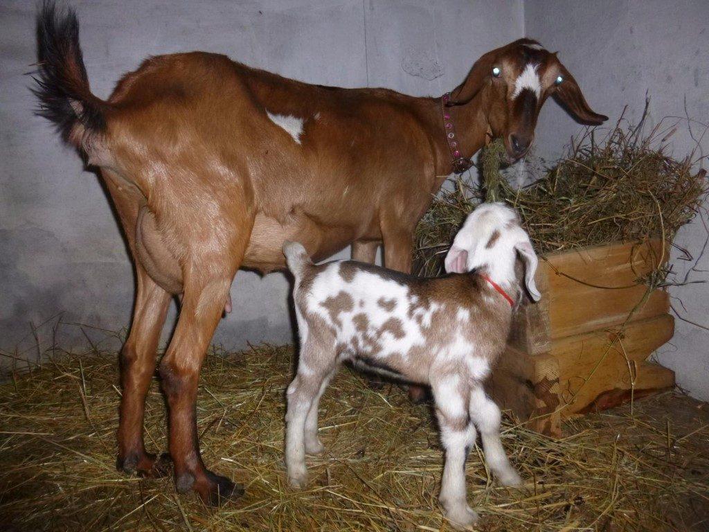 Нубийский козленок с мамой