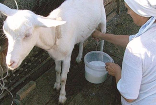 сколько доится Зааненская коза