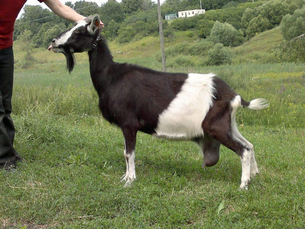 Тоггенбургская порода коз фото