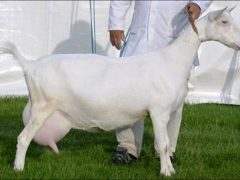 Зааненская порода коз сколько дает молока, описание, фото