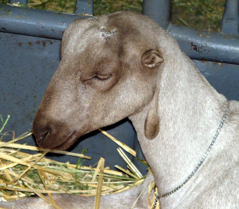 козы породы Ламанча