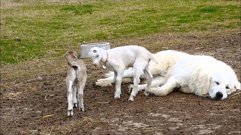 козлята ламанчи подружились с собакой