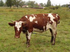 Айрширская порода коров домашняя