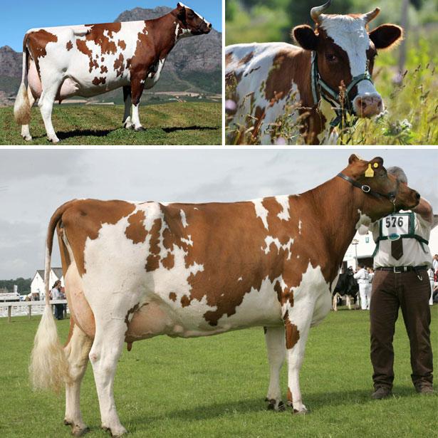 Айрширская порода коров описание
