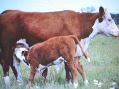 Герефордская порода коров