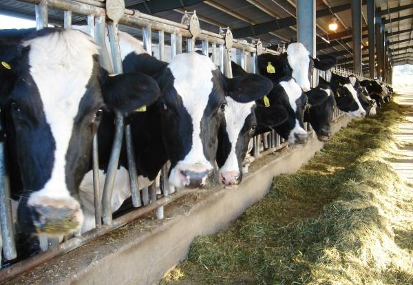 коровы в стойле