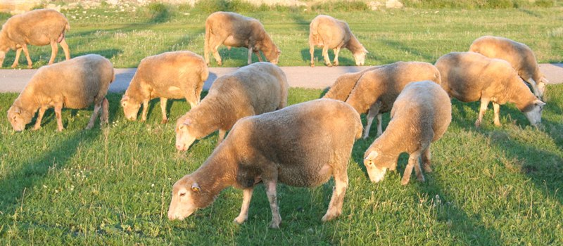 Куйбышевская мясошерстная порода