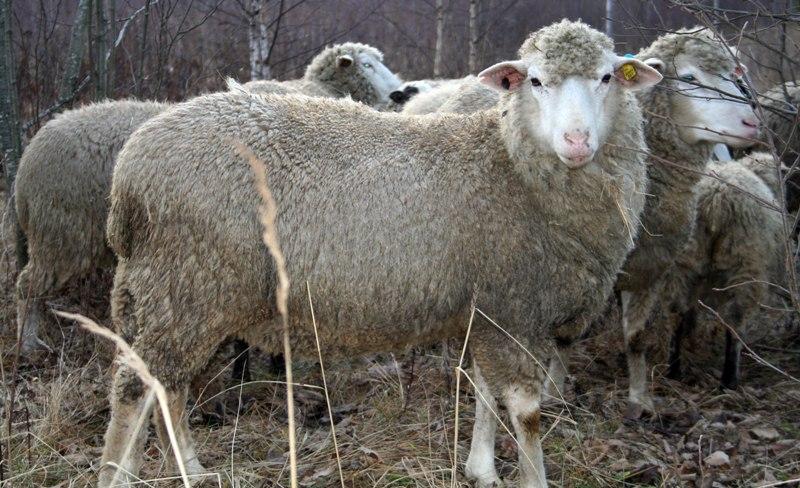 Северокавказская порода овец
