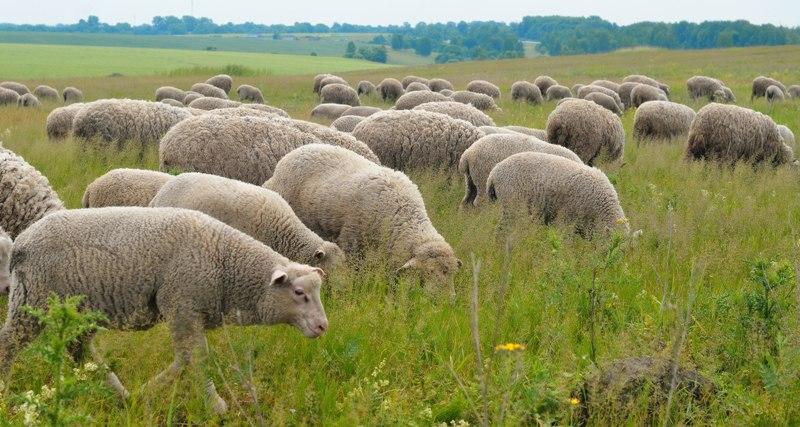 Ташлинские овцы на пастбище