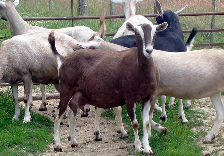 Тоггенбургская молочная порода коз