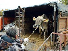 как перевезти корову выгрузка