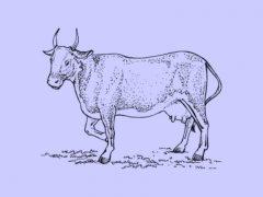 Как выбрать корову