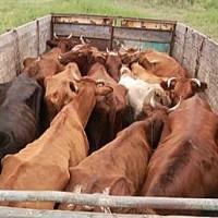 коровы при перевозке