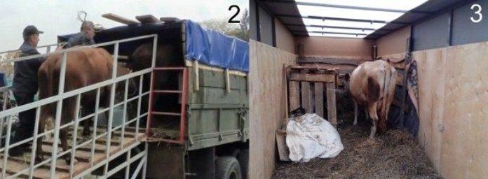 транспортировка коров