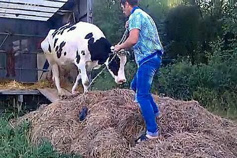 выгрузка коровы