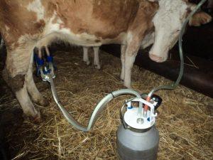 доение коровы доильным аппаратом