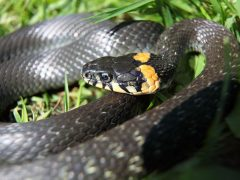 Как избавиться от ужей и змей на участке