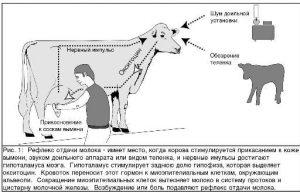Как образуется молоко