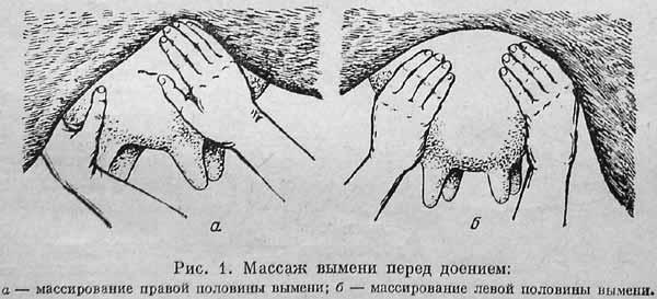 Уход за выменем - массаж