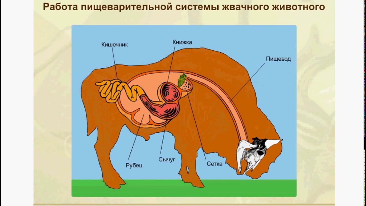 Работа желудка жвачных животных