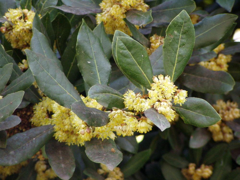 лавровый лист цветет